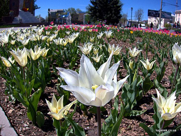 Голландские тюльпаны на ул. Советская в Луганске.