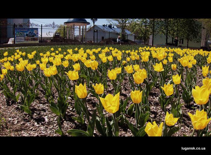 Желтые голландские тюльпаны на ул. Советская в Луганске.