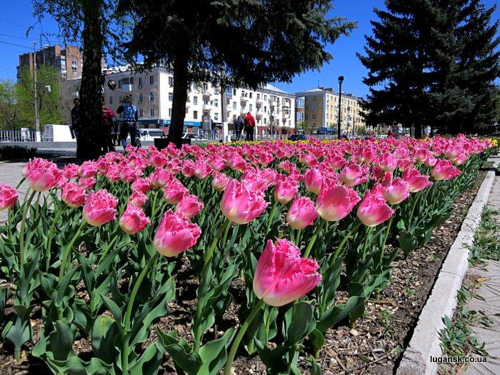 Розовые голландские тюльпаны на ул. Советская в Луганске.