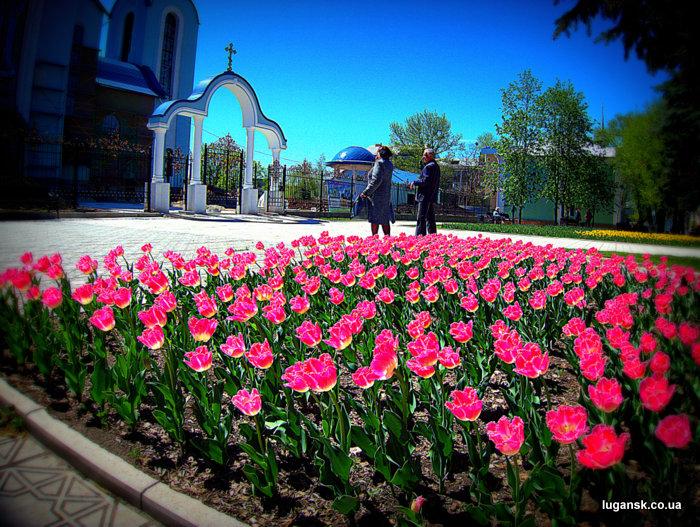 Тюльпаны из Голландии на ул. Советская в Луганске.
