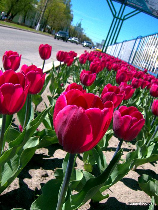 Фиолетовые тюльпаны из Голландии на ул. Советская в Луганске.
