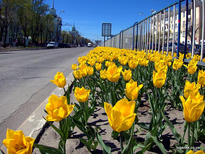 Желтые тюльпаны из Голландии на ул. Советская в Луганске.