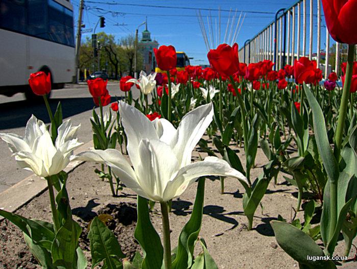 Белые и красные тюльпаны из Голландии на ул. Советская в Луганске.