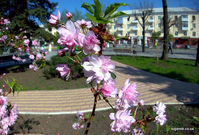 Цветы сакуры в Луганске.