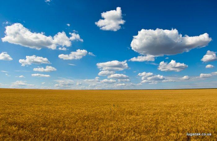 Пшеница колосится.