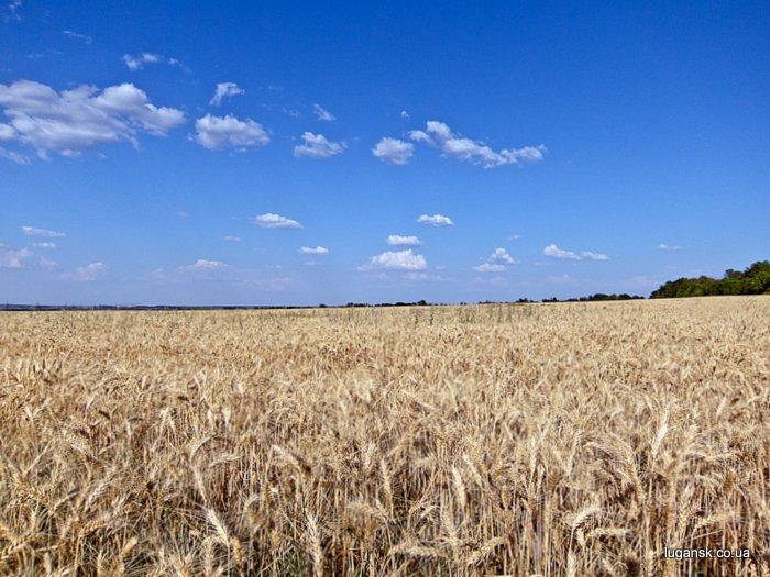 Пшеничное поле.