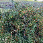 Урожай шиповника