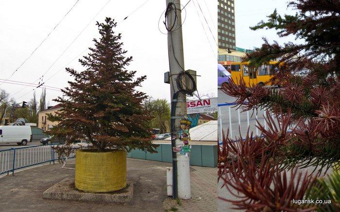 Ели на перекрестке улиц Советская и Оборонная в Луганске засыхают.